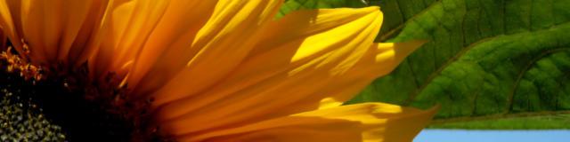 tournesol-3-photo-libre-utilisation-diffusion-interdite.jpg