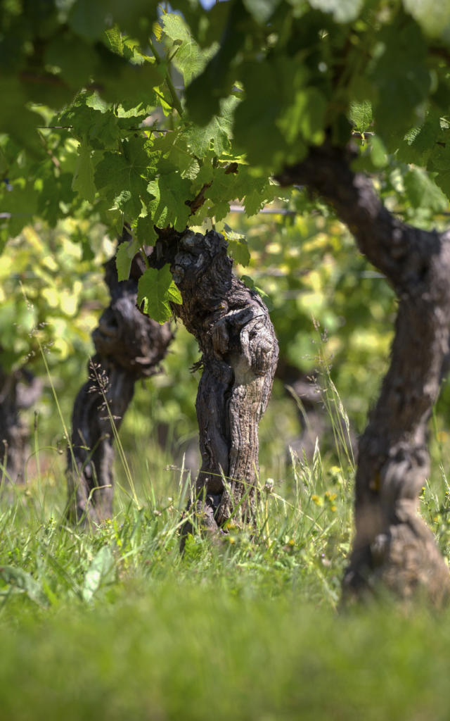 vignes-plus-foncees-1.jpg